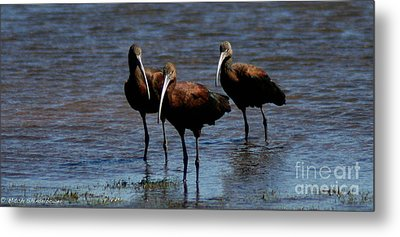 Metal Print featuring the photograph Waiding Ibis by Mitch Shindelbower