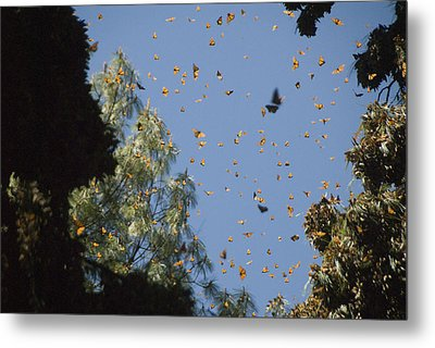 Warmed By The Sun, Thousands Of Monarch Metal Print by Annie Griffiths