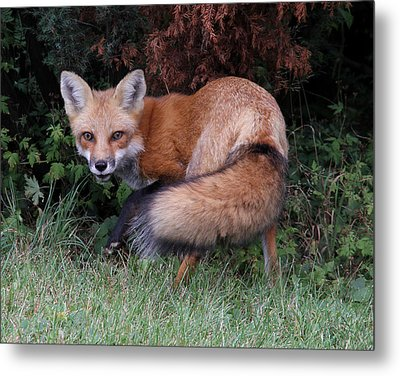 Wary Fox Metal Print
