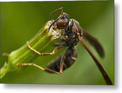 Wasp Eating Metal Print by Dean Bennett