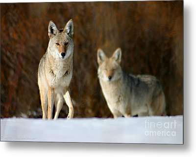 Metal Print featuring the photograph Watching by Mitch Shindelbower