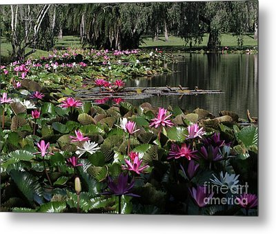 Water Lilies In The St. Lucie River Metal Print by Sabrina L Ryan