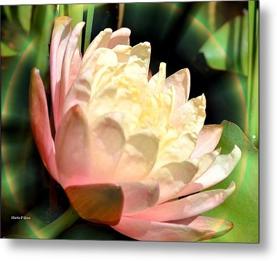 Water Lilly In Bloom Metal Print by Maria Urso