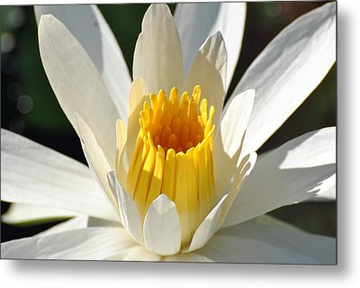 Metal Print featuring the photograph Water Lilly by Jodi Terracina