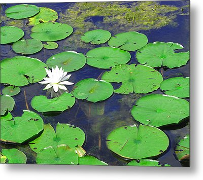 Water Lily Metal Print by Clara Sue Beym