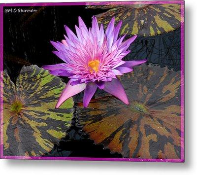 Water Lily Magic Metal Print by M C Sturman