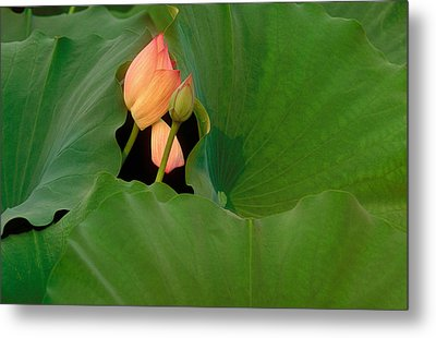 Water Lily Metal Print by Mark Greenberg