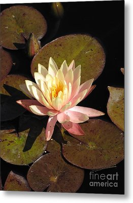 Water Lily Metal Print by Michelle H