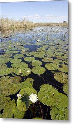 Water Lily Nymphaea Sp Flowering Metal Print by Matthias Breiter