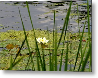 Water Lily On The River Metal Print