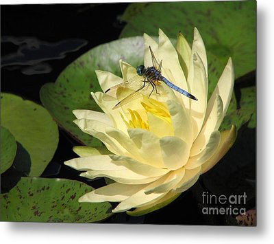 Waterlily With Dragonfly Metal Print by Eva Kaufman