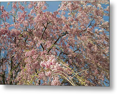 Weeping Cherry Tree In Bloom Metal Print by Todd Gipstein