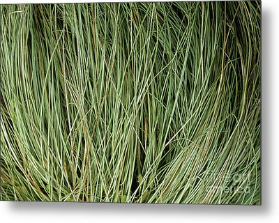 Weeping Sedge (carex Oshimensis) Metal Print by Archie Young