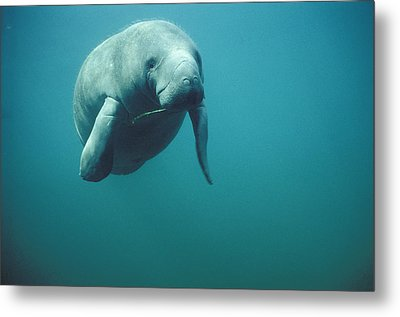 West Indian Manatee Trichechus Manatus Metal Print by Tui De Roy