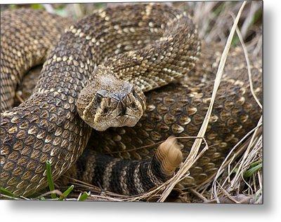 Western Diamondback Rattlesnake - 4665 Metal Print