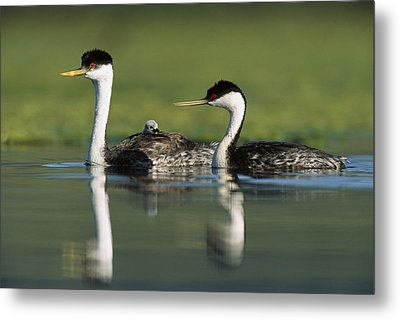 Western Grebe Couple With One Parent Metal Print by Tim Fitzharris