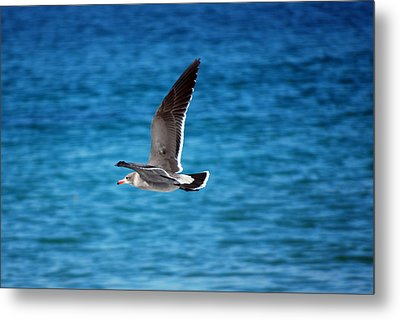 Metal Print featuring the photograph Western Gull In Flight by Harvey Barrison