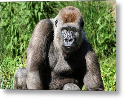 Western Lowland Gorilla Female Metal Print by Julie L Hoddinott
