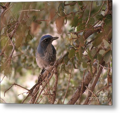 Western Scrub Jay Metal Print by Chris Hill