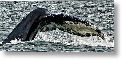 Whale Tail Metal Print by Jon Berghoff