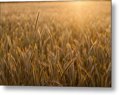 Wheat Field During Sunrise Metal Print by Bjorn Holland