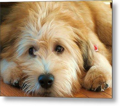 Wheaten Terrier 1 Metal Print by Vijay Sharon Govender