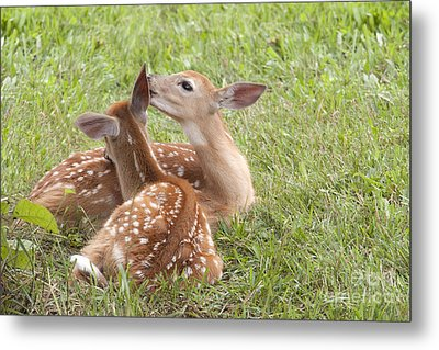 Whispering Fawns Metal Print by Jeannette Hunt