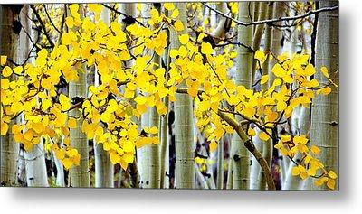 White Aspen Golden Leaves Metal Print by Jeff Lowe