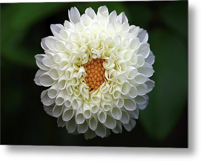 White Beautiful  Dahlia Metal Print by Photography by Dalang5