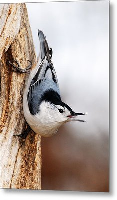 White-breasted Nuthatch 3 Metal Print by Larry Ricker