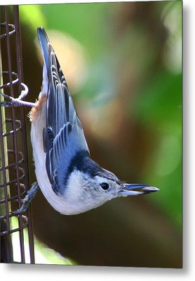 Metal Print featuring the photograph White-breasted Nuthatch by Laurel Talabere