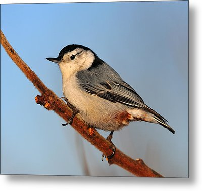 White-breasted Nuthatch Metal Print by Tony Beck