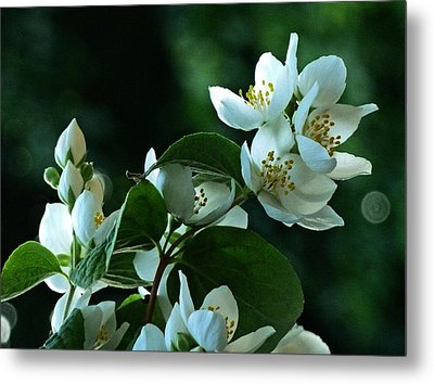 Metal Print featuring the photograph White Buds And Blossoms by Steve Taylor