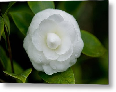 White Camellia Metal Print by Rich Franco
