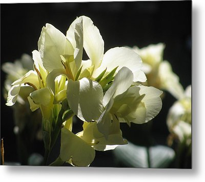 White Canna Lily Metal Print by Alfred Ng
