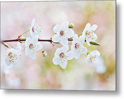 White Cherry Blossom Metal Print by Jacky Parker Photography