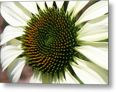 White Coneflower Daisy Metal Print by Donna Corless