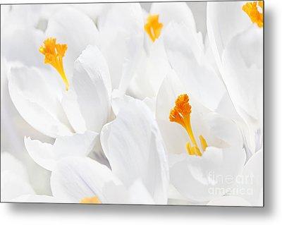 White Crocus Blossoms Metal Print by Elena Elisseeva