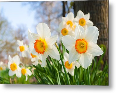 Metal Print featuring the photograph White Daffodils by Hans Engbers
