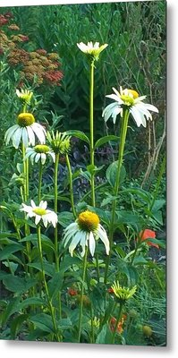 White Daisies And Garden Flowers Metal Print by Thelma Harcum