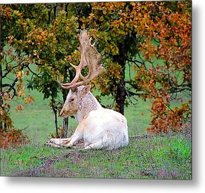 Metal Print featuring the photograph White Deer by Wendy McKennon