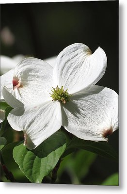 White Dogwood Metal Print by Rebecca Overton