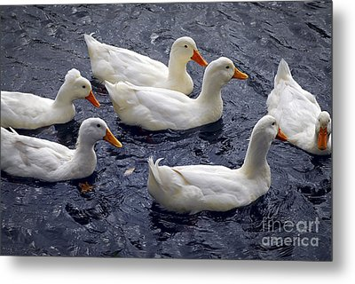 White Ducks Metal Print