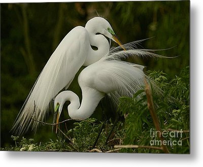Metal Print featuring the photograph White Egrets Working Together by Myrna Bradshaw