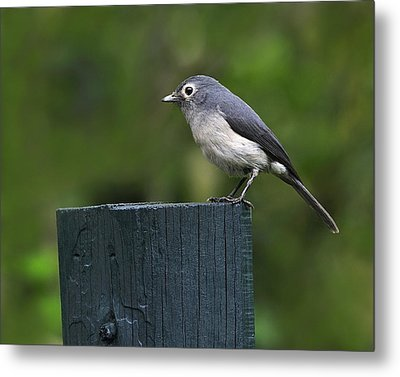 White-eyed Slaty Flycatcher Metal Print by Tony Beck