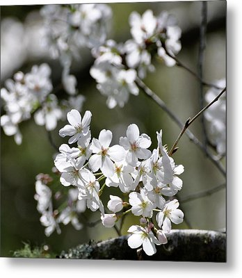 Metal Print featuring the photograph White Flowering Plum by Helen Haw
