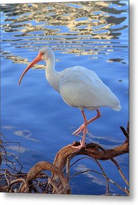 White Ibis Metal Print by Rick Lesquier