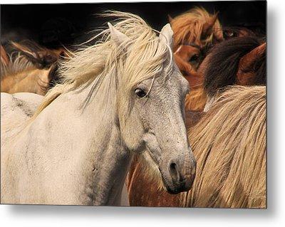 White Icelandic Horse Metal Print
