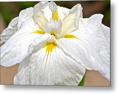 Metal Print featuring the photograph White Iris by Eve Spring