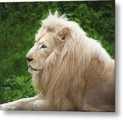 White Lion Metal Print by Jen Morrison